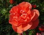 trandafiri_0040_20170603-DSC06109