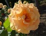 trandafiri_0043_20170603-DSC06101