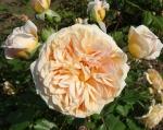 trandafiri_0045_20170603-DSC06091