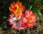 trandafiri_0046_20170603-DSC06089