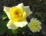 trandafiri_0047_20170603-DSC06087