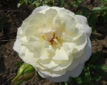 trandafiri_0048_20170603-DSC06086
