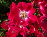 trandafiri_0050_20170603-DSC06082