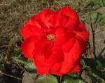 trandafiri_0051_20170603-DSC06077