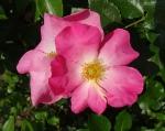 trandafiri_0053_20170603-DSC06075