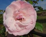 trandafiri_0054_20170603-DSC06074
