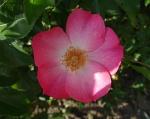 trandafiri_0055_20170603-DSC06072