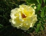 trandafiri_0056_20170603-DSC06070