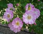 trandafiri_0058_20170603-DSC06065