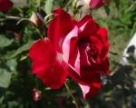 trandafiri_0059_20170603-DSC06060