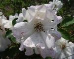 trandafiri_0060_20170603-DSC06059