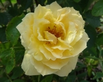 trandafiri_0061_20170603-DSC06058