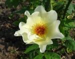 trandafiri_0062_20170603-DSC06054