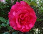 trandafiri_0063_20170603-DSC06049
