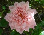 trandafiri_0064_20170603-DSC06048