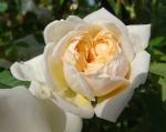 trandafiri_0065_20170603-DSC06045