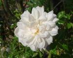 trandafiri_0066_20170603-DSC06044