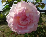 trandafiri_0068_20170603-DSC06032