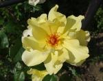 trandafiri_0071_20170603-DSC06022